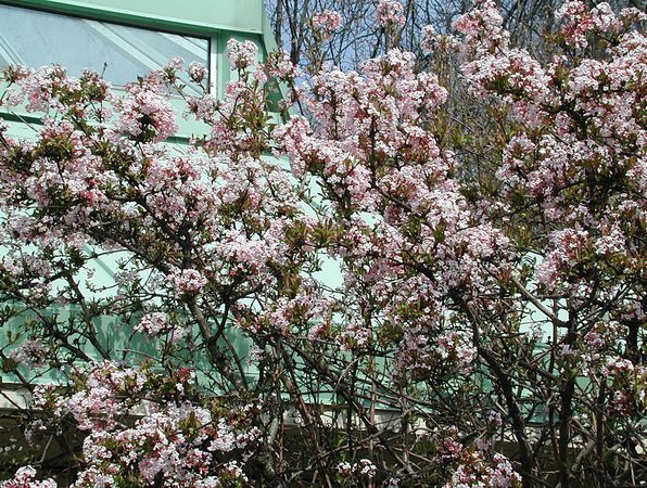 Hybridkejsarolvon, _Viburnum x bodnantense_, 'Dawn' i april. Foto: Sylvia Svensson