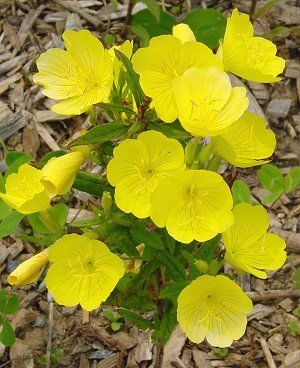 "Oenothera fruticosa ""Sun Drops"" sprawling yellow #perennial bush blooms all summer & spills onto paths.....spreads easily"