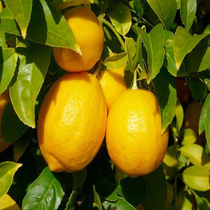 Κίτρο / Citrus