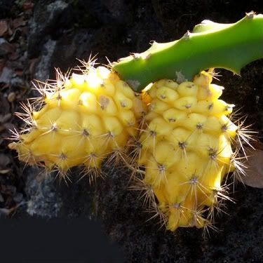 yellow dragon fruit http://www.pinterest.com/janebeaumarches/ingredients/