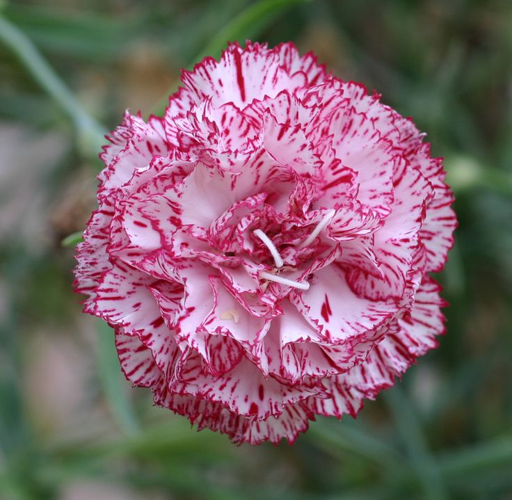 How to grow Carnation , growing Carnation flower in your garden http://www.growplants.org/growing/carnation