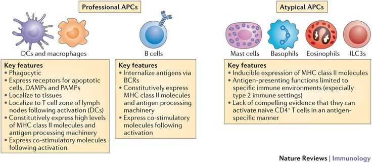 antigen presenting cells - Google Search