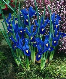 This Iris variety has large blooms on short stems and blooms in very early Spring with the crocus.