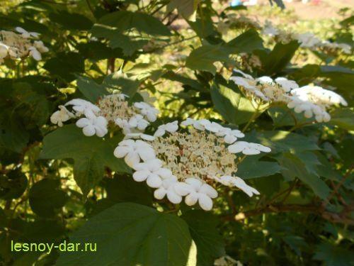 Калина обыкновенная - соцветия