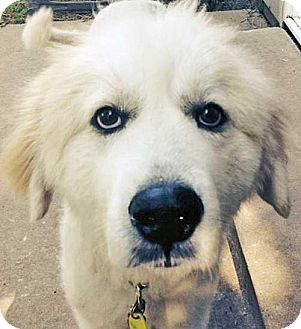 7/1/14 Beacon, NY - Great Pyrenees. Meet Joan in AR - new!, a dog for adoption. http://www.adoptapet.com/pet/11079905-beacon-new-york-great-pyrenees