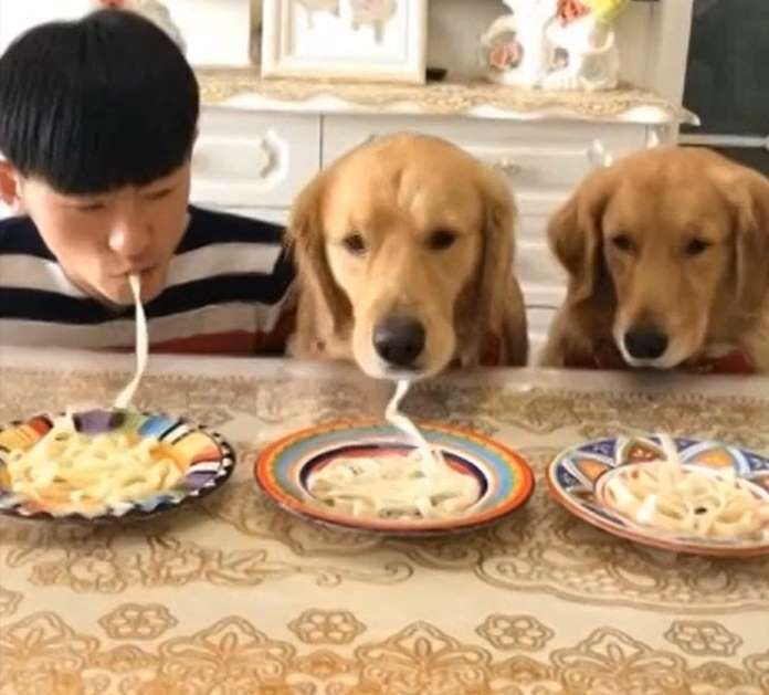 Two Golden Retrievers Take Part In A Noodle Eating Competition