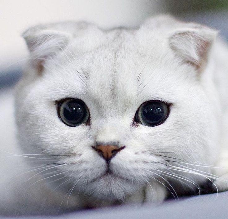 Scottish Fold Cat แมว