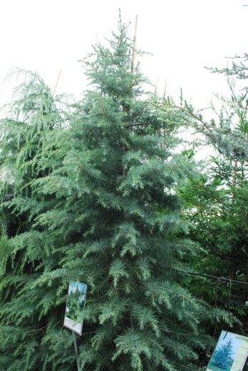 Deodar Cedar Tree Varieties ~ Best images about 雪松 cedrus deodara on pinterest