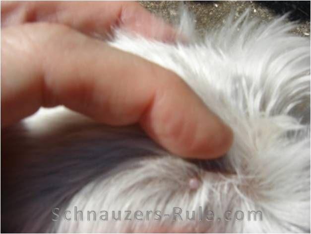 schnauzer bumps, fibroma