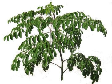 How to grow Moringa in cold climates: Photo