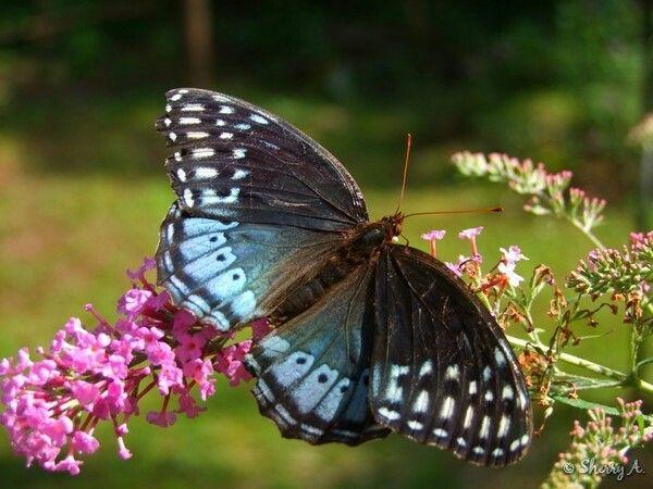 Speyeria Diana 蝶 動物 虫