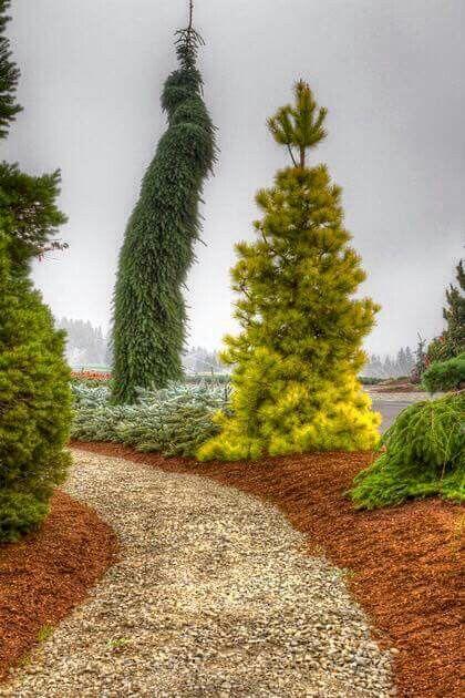 Picea omorika 'Pendula Bruns' & Pinus contorta 'Chief Joseph'