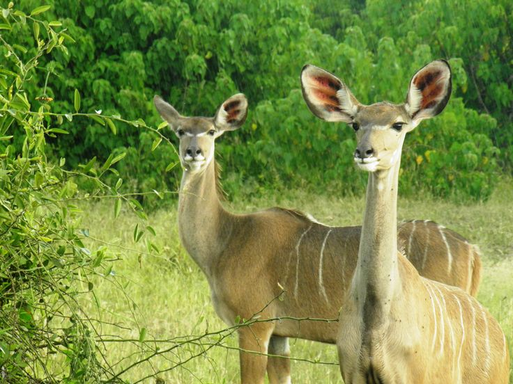 Beautiful, slender animals to be seen on Botswana camp
