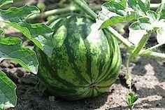 5 хитростей, которые помогут вырастить арбузы и дыни даже в суровых условиях