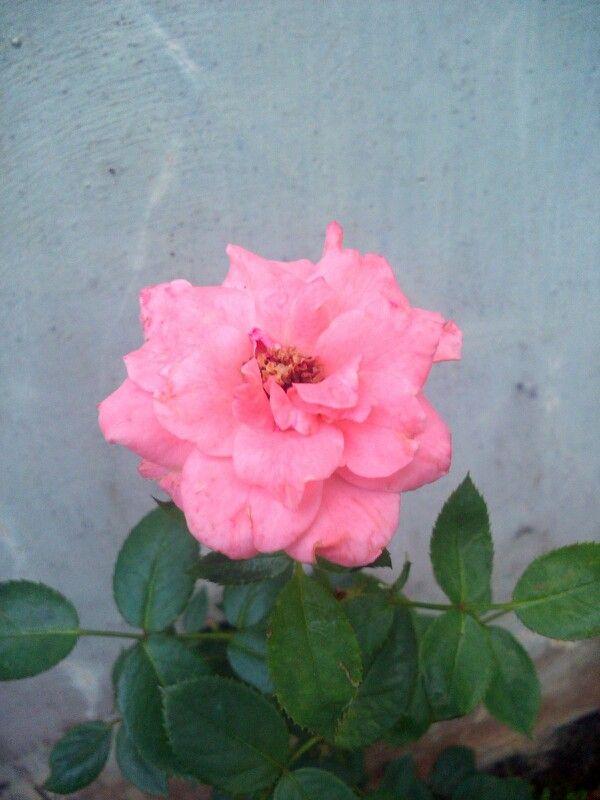 Bunga mawar merah (muda), satu tanda cinta.. Yang berarti bahwa, ku cinta padamu.. Pagi Kamis