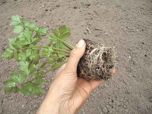 Как посадить и вырастить сельдерей | Огород | Дача | Аргументы и Факты