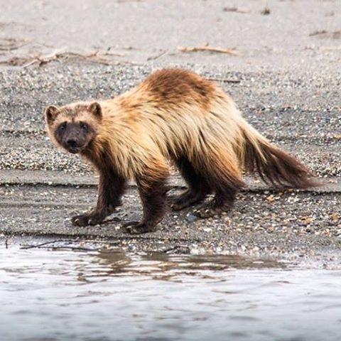 Vielfraße sind bekannte, aber selten gesehene Tiere. Bekanntlich furchtlos und ungläubig …