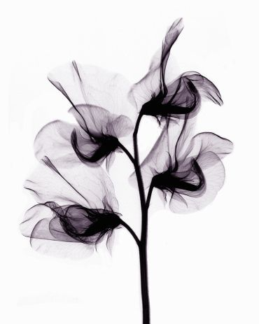 Photo : X-ray image of sweet pea flowers