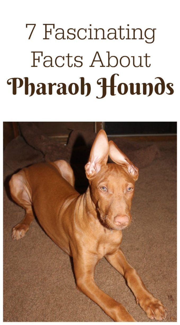 Check out 7 fascinating facts about the  Pharaoh Hound, the AKC's 176th most popular dog breed & one of the world's oldest domesticated dogs!