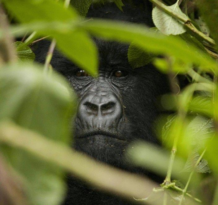 Il Parco nazionale di Virunga è un parco naturale della Repubblica Democratica del Congo. Fondato nel 1925, Il Virunga è stato il primo parco nazionale africano. Ospita i gorilla di montagna, messi in pericolo dall'attività dei bracconieri e dalla guerra civile. Il parco è