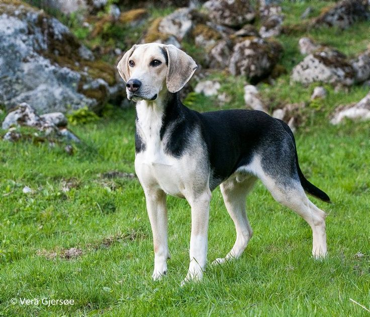 18 best Dunker images on Pinterest Norway Dog breeds and Hound dog