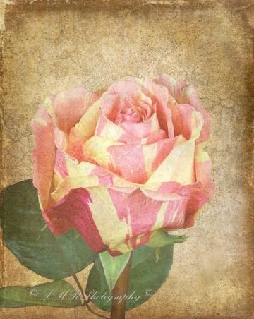Rose Photograph, 8 x 10 Photo, Fine Art Nature Photo, Antiqued Rose Print by LMRPhotography for $25.00 #ssps #zibbet