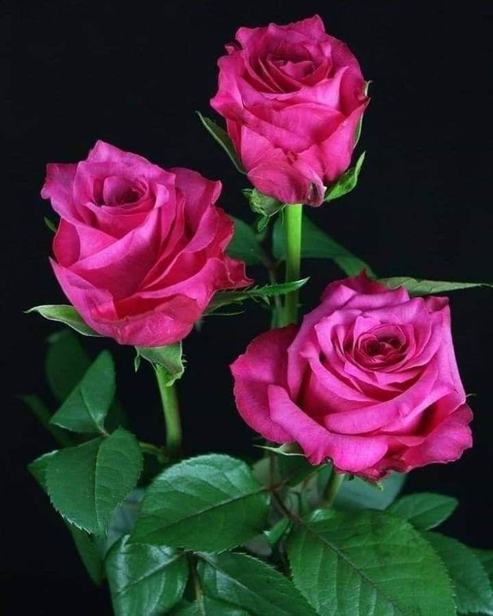 يا عاشق الورد أنت الورد أجمع ه في حوض عينيك كل الورد يجتمع لا لم تحب ي ورود الأرض من عبث فالورد أيضا Beautiful Flowers Beautiful Roses Flowers