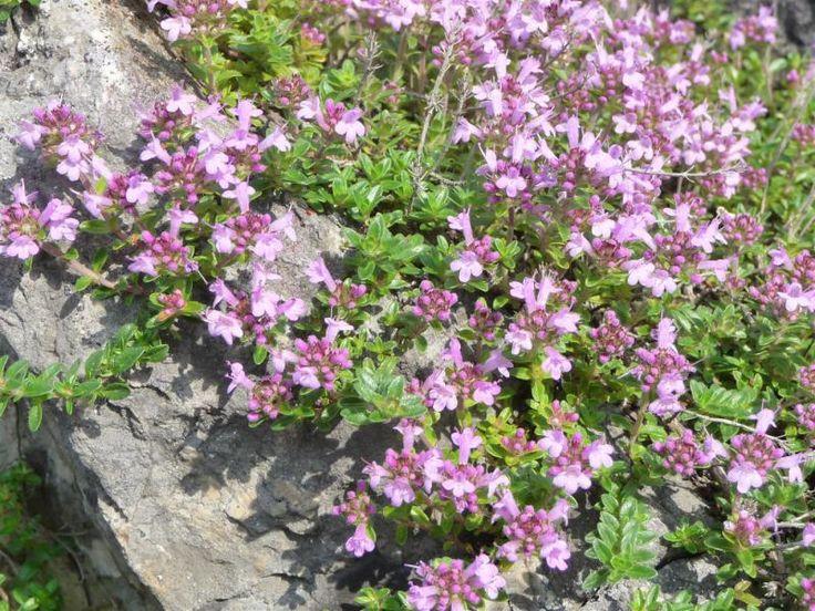 25+ best ideas about Thymus Serpyllum on Pinterest  Thyme