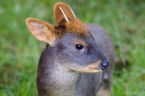PUDU - Pudu puda . . . Southern Andes of Chile, Argentina.
