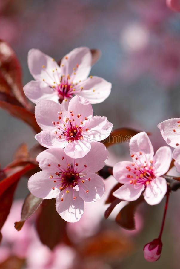 Pin By Roksolana On Wallers For Girls Cherry Blooms Cherry Blossom Flowers Cherry Flower