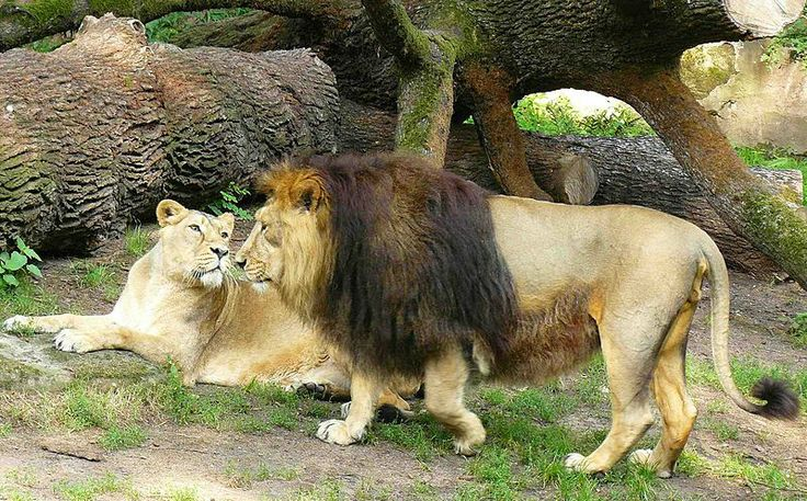 Asiatic Lion | Asiatic Lion