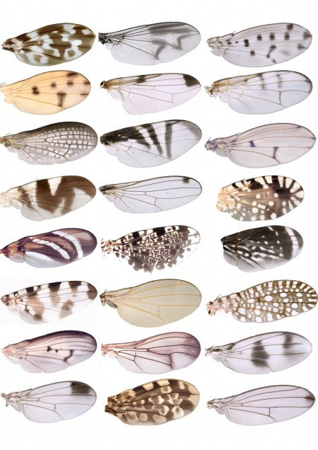 wingsInspiration, Insects Wings, Nature, Pattern, Butterflies Wings, Body Architecture, Fruit Fly, Butterfly Wings, Animal
