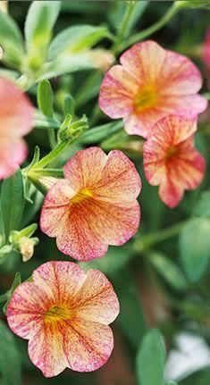 Million Bells: Annual, Colors Coral, Alphabet Flowers, 10 Flowers, Beautiful Flowers, Gardens Parties, Floweri Beautiful, Little Flowers, Belle Calibrachoa