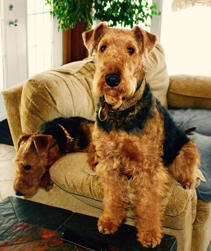 2711 bästa bilderna om Airedales på Pinterest  Airedale terrier, Fox terriers och Husdjur