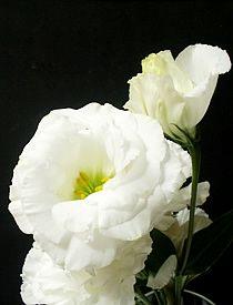 Lisianto - Eustoma grandiflorum - Flor de corte - Vendida na Holambelo 10 hastes por R$21,00.