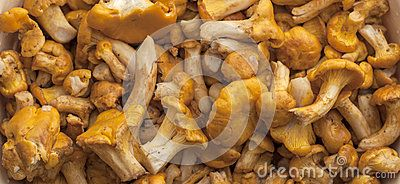 GOLDEN CHANTERELLE -   Detailed picture of washed, cleaned chanterelle mushrooms.  Download From Over 25 Million High Quality Stock Photos, Images, Vectors. Sign up for FREE today. Image: 43005782