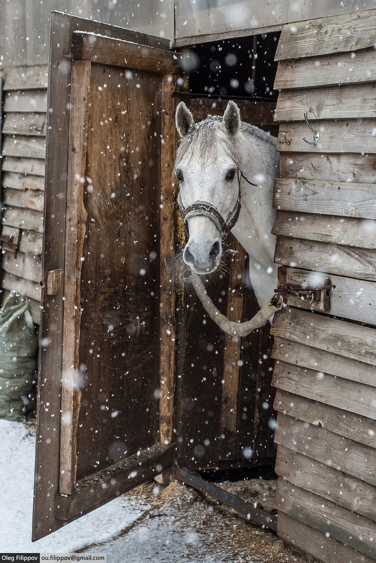 White horse at snowy day stable door