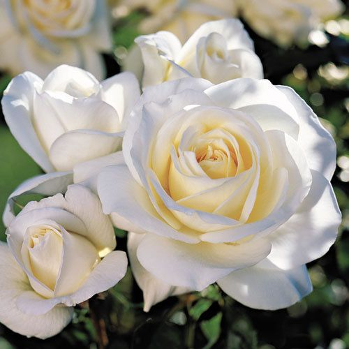 Small garden? No problem…Not only is our pick compact, it has other great attributes for close quarters…Beautiful details and great fragrance!  Our top pick for roses for small space is Moondance.