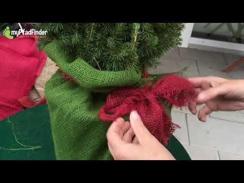 Eine weihnachtlich dekorierte Zuckerhutfichte selber herstellen