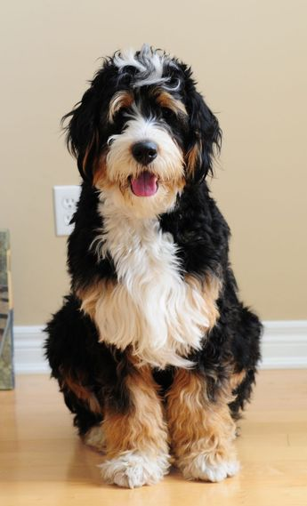 Bernedoodle Bernese Mountain Dog And Poodle