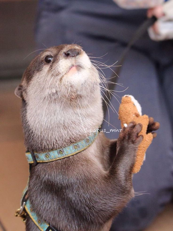 Otter loves his new otter toy From parus_mnr: https ...