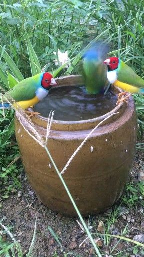 The parrot to drink water