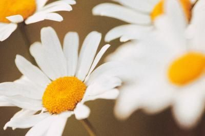 With their cheery flowers and lengthy blooming period, Shasta daisies (Leucanthemum x superbum) add long-lasting visual appeal to container gardens within U.S. Department of Agriculture hardiness ...