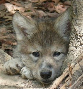 timber wolf pup …
