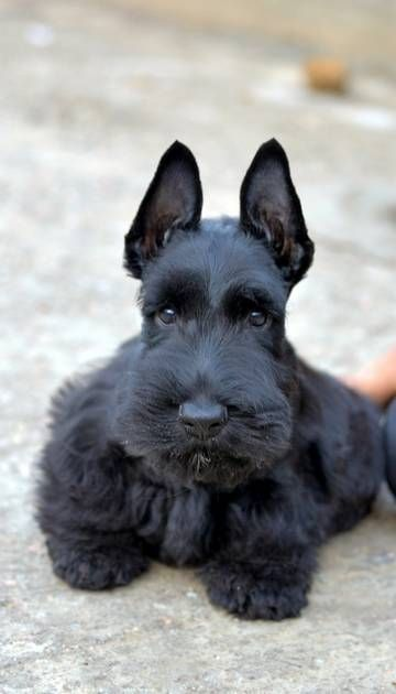 a scottish terrier - my first dog. Her name was Zsa_Zsa ...