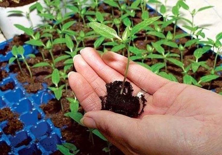 Какую рассаду пикировать нужно, а какую не обязательно?   Дачный сад и огород