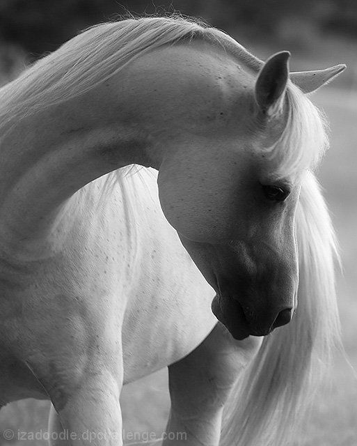 white stallion.,, I like horses. Have gone horseback riding a few times since childhood. Love to draw them. Love looking at them.