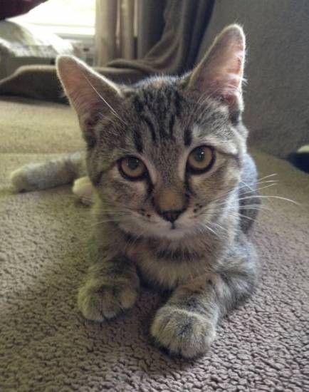 20 Ideas For Cats Tabby Pets Cats Cat Adoption Tabby Cat Orange Tabby Cats