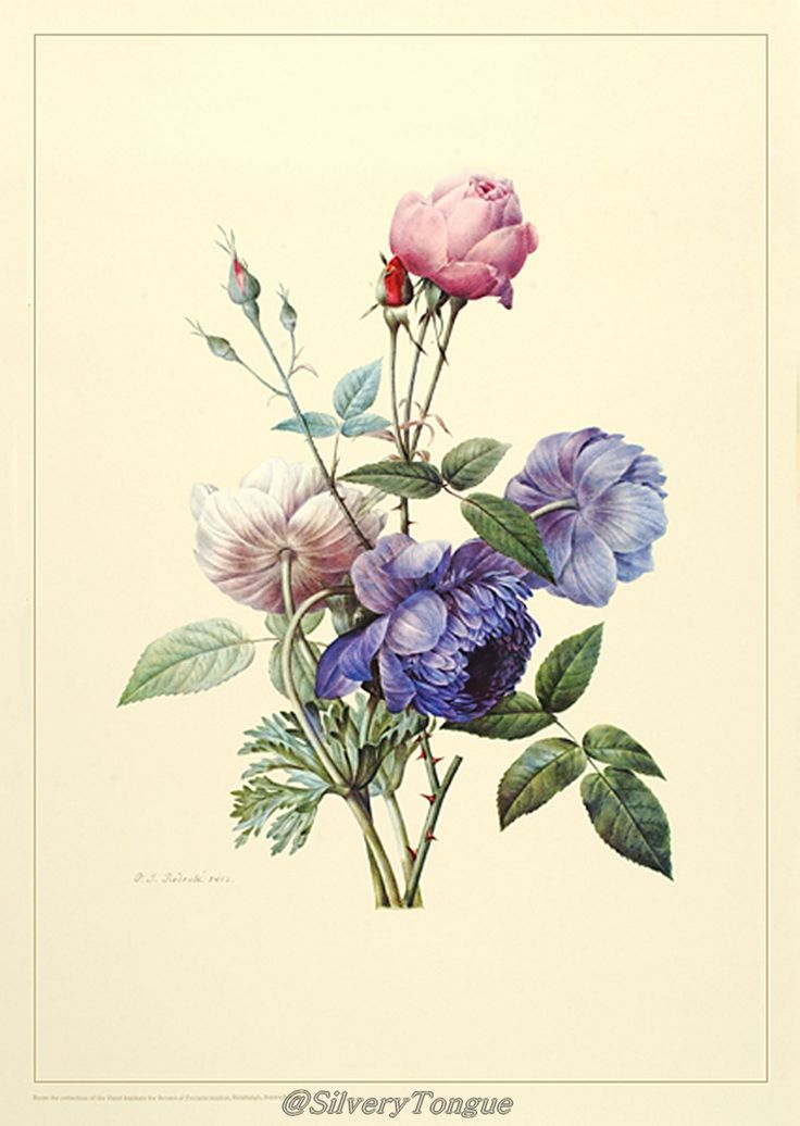 Rose and anemones, facsimile of watercolor on vellum by Pierre-Joseph Redouté (1813) produced in conjunction with P. J. Redouté.