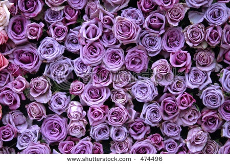 different shades of purple roses